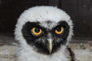 Trevor the Owl